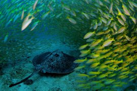 A marbled ray glides through a technicolor swirl of Bengal snappers in the waters off of Mahé, the largest island of Seychelles.