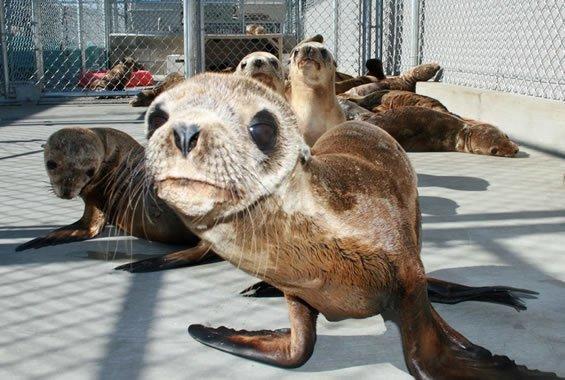 Sea Lion Crisis 2015